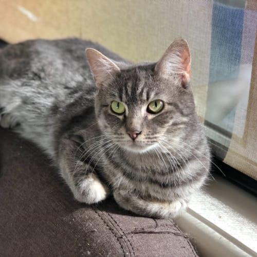 Jayden - Domestic Short Hair Cat