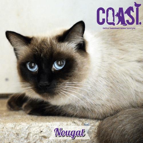 Nougat - Siamese Cat