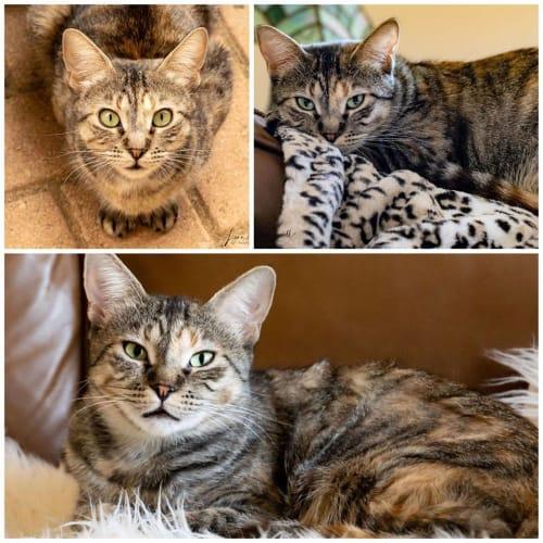 2583 - Kendra - Domestic Short Hair Cat