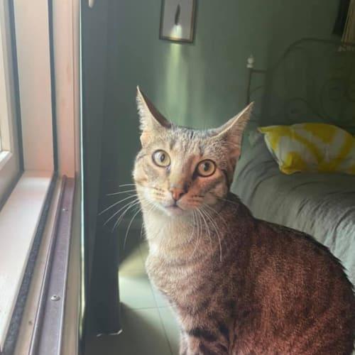 Lovely - Domestic Short Hair Cat