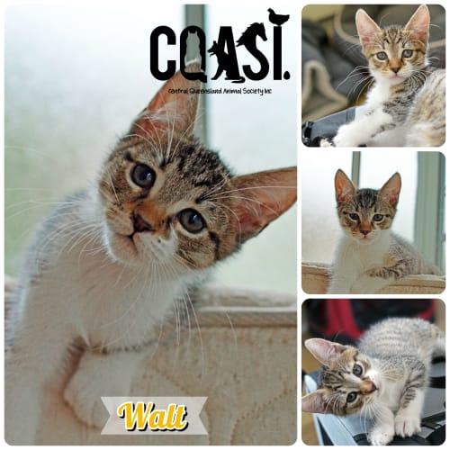 Walt  - Domestic Short Hair Cat