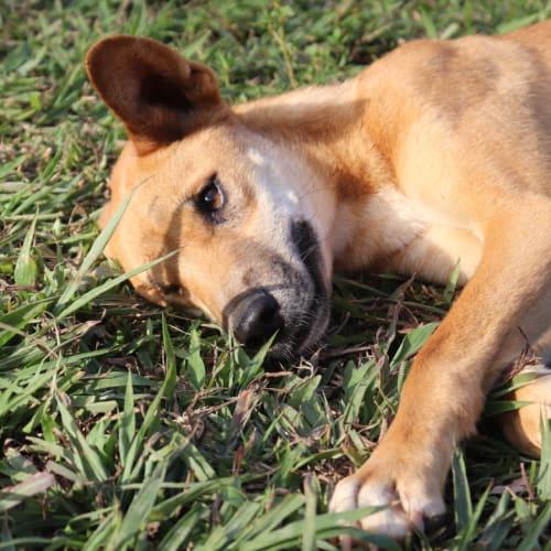 Kirima - Dingo Dog