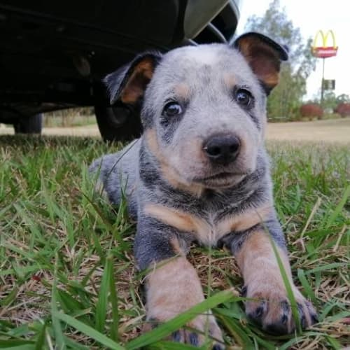 Little Ned - Cattle Dog