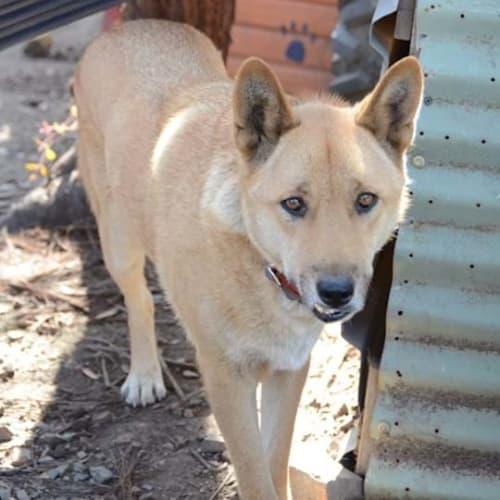Apollo- Dingo