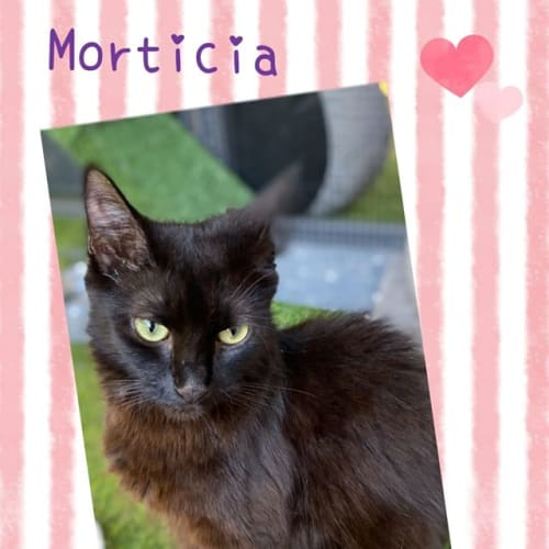 Morticia - Domestic Medium Hair Cat