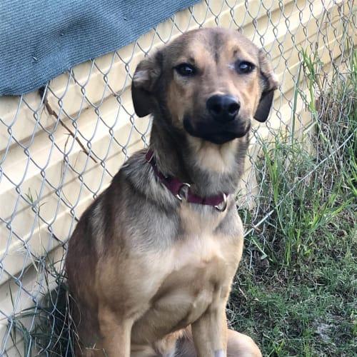 Wags - Irish Wolfhound x Mastiff Dog