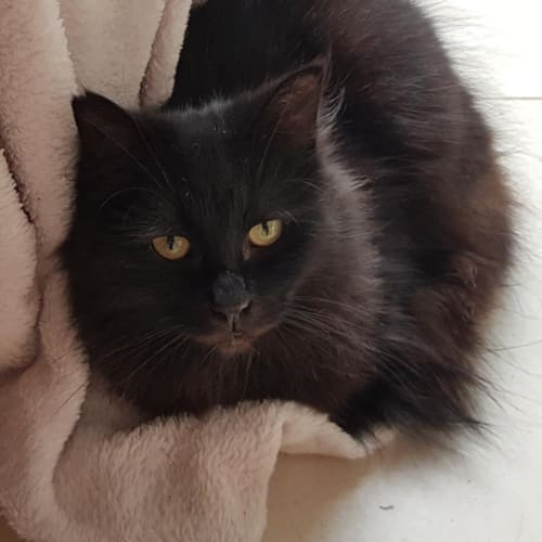 Blackie - Domestic Medium Hair Cat