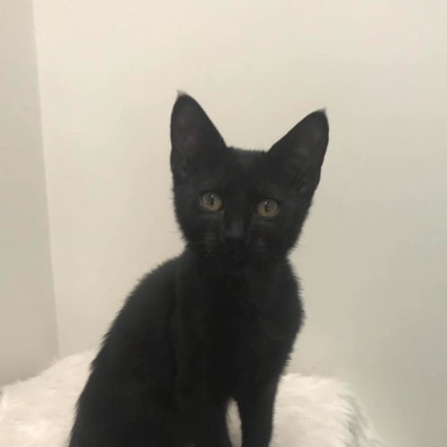 Quendi - Domestic Short Hair Cat