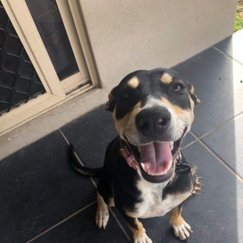 Harley - Kelpie Dog