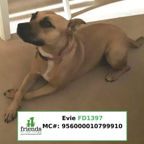 Evie - American Staffordshire Terrier Dog