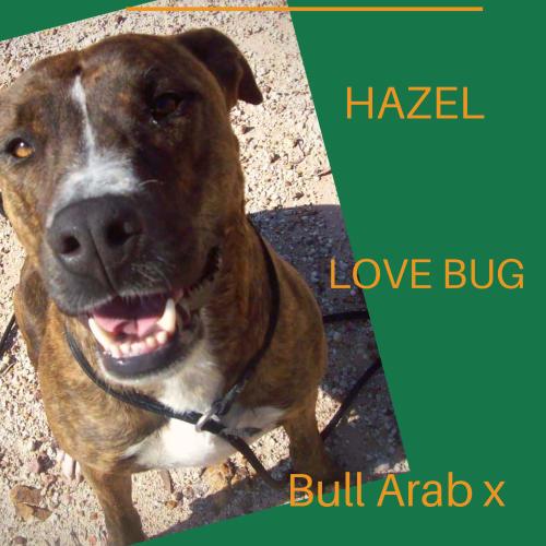 Hazel - Bull Arab Dog