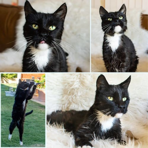 3020 – Mr Black - Domestic Short Hair Cat
