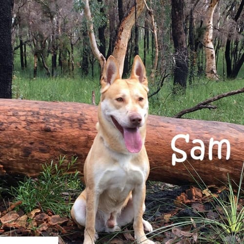 Sam - Husky Dog
