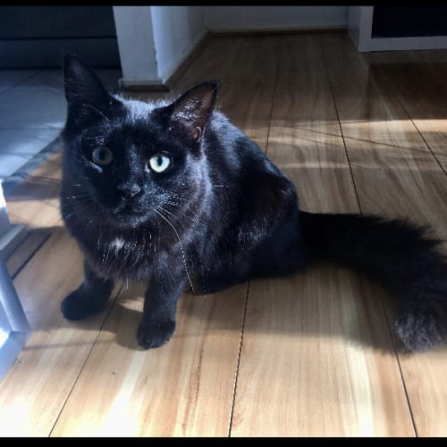 Noelle - Domestic Long Hair Cat
