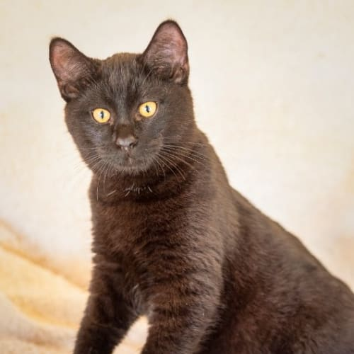 Kypp - Domestic Short Hair Cat