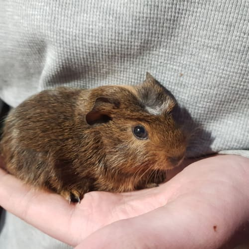 Axel -  Guinea Pig