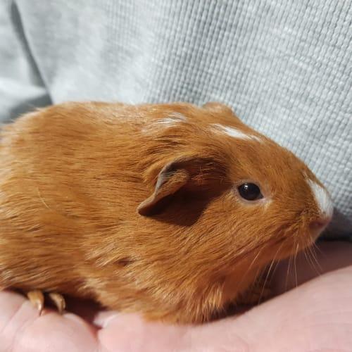 Gilligan -  Guinea Pig