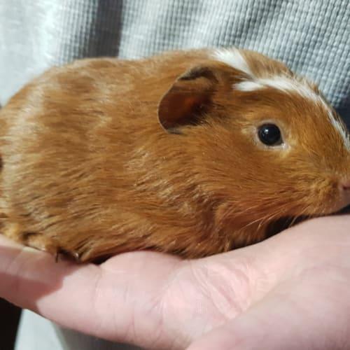 Arlo  -  Guinea Pig