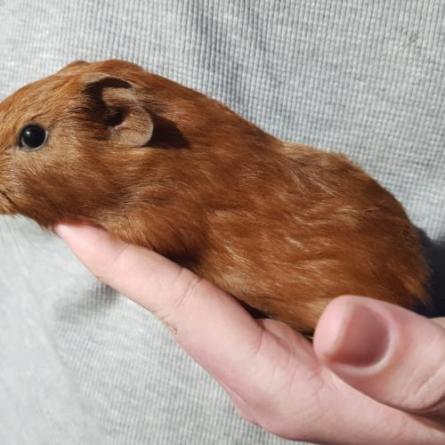 Bishop  -  Guinea Pig