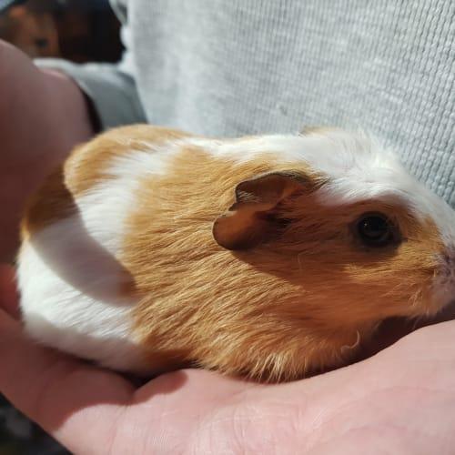 Duke  -  Guinea Pig