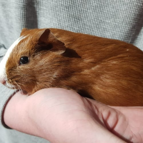 Toffee (Buddy of Hersheys) -  Guinea Pig