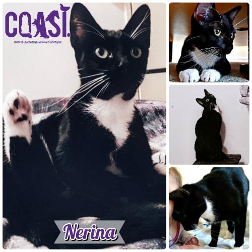 Nerina - Domestic Short Hair Cat