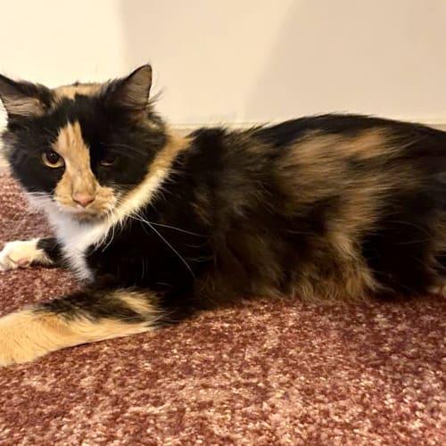 Petunia - Domestic Medium Hair Cat