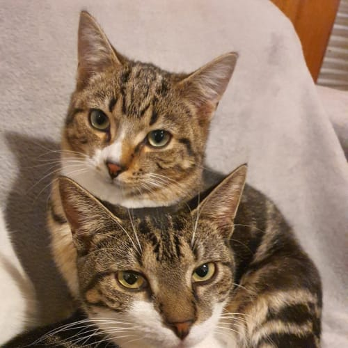 Octavia & Quinn (Located in Oakleigh South) - Domestic Short Hair Cat