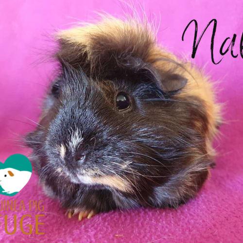 Nala - Abyssinian x Peruvian Guinea Pig