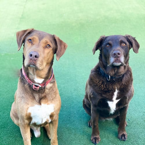 Frankie - Labrador x Rhodesian Ridgeback Dog
