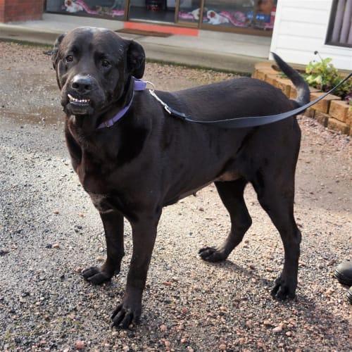 Nakita - Labrador x Mastiff Dog