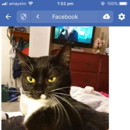 Luna Black - Domestic Short Hair Cat