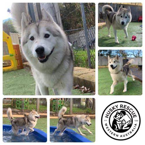 Luna - Siberian Husky Dog