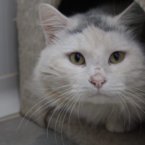 Eric - Ragdoll Cat