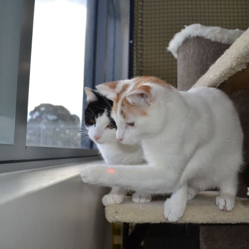 Felix and Gilligan - Domestic Short Hair Cat