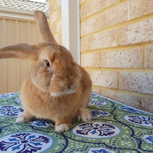 Rusty *On Trial* - Dwarf Rabbit