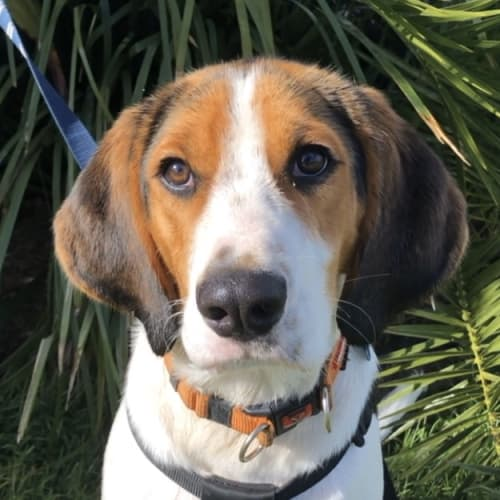 Ralph ~ 1 yo Foxhound x - Foxhound Dog