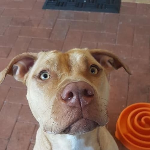 Kyah - American Staffordshire Bull Terrier Dog