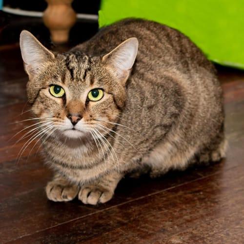 2776 - Teo - Domestic Short Hair Cat