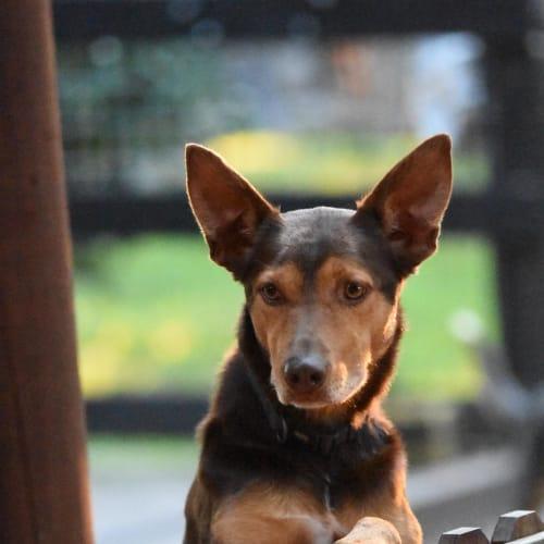 Archie - Kelpie Dog