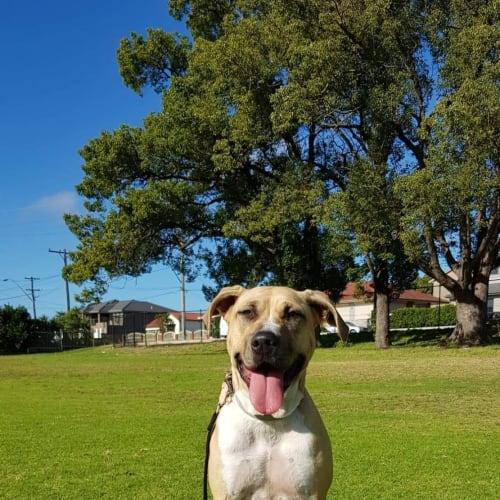 Fawn - American Staffordshire Terrier Dog