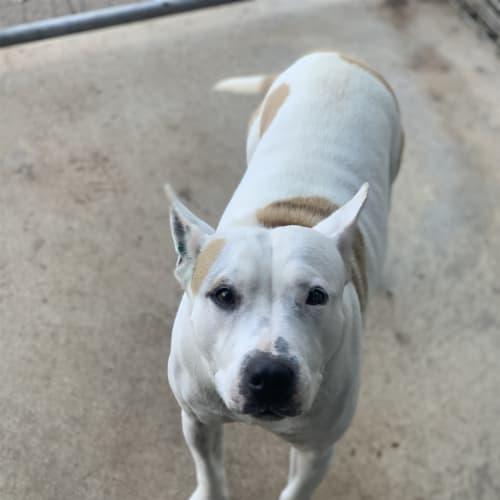 Odette - Staffordshire Bull Terrier X Dog