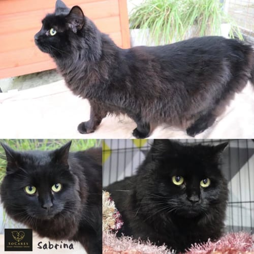 Sabrina - Domestic Medium Hair Cat