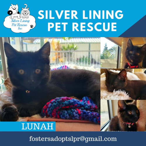 Lunah - Domestic Short Hair Cat