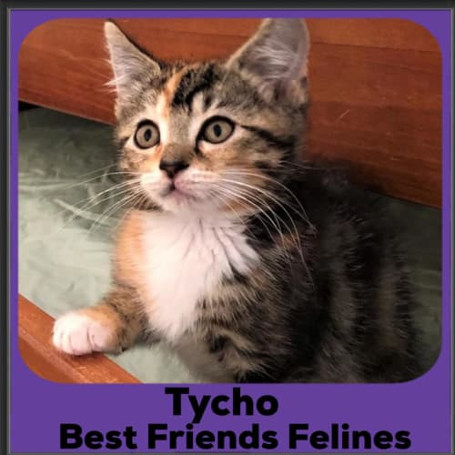Tycho  - Domestic Short Hair Cat