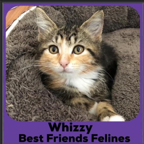 Whizzy  - Domestic Medium Hair Cat