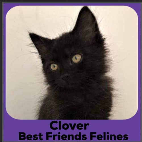 Clover  - Domestic Medium Hair Cat