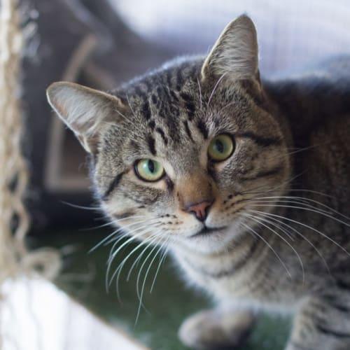 Tom Jones - Domestic Short Hair Cat