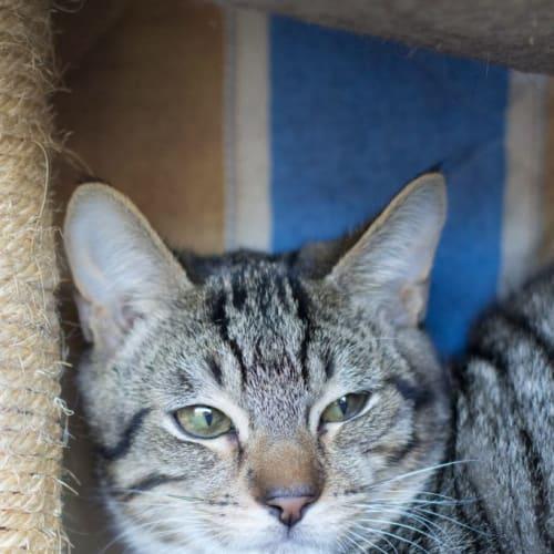 Sweeney - Domestic Short Hair Cat