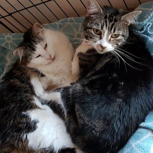 Arya & Bron - Domestic Medium Hair Cat